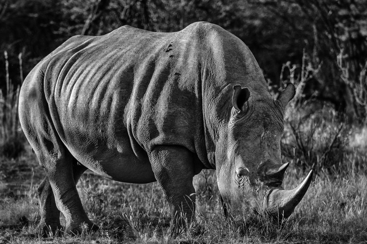 RhinoB&W