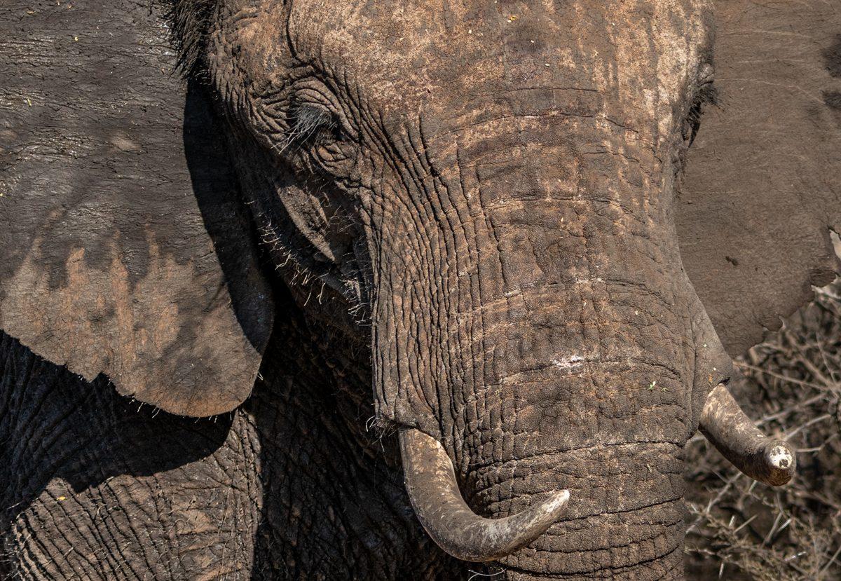elephantcloseup