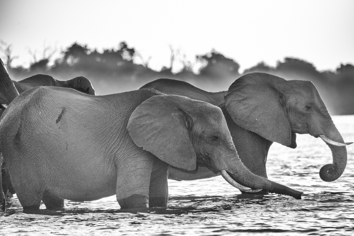 elephantsSilhouette