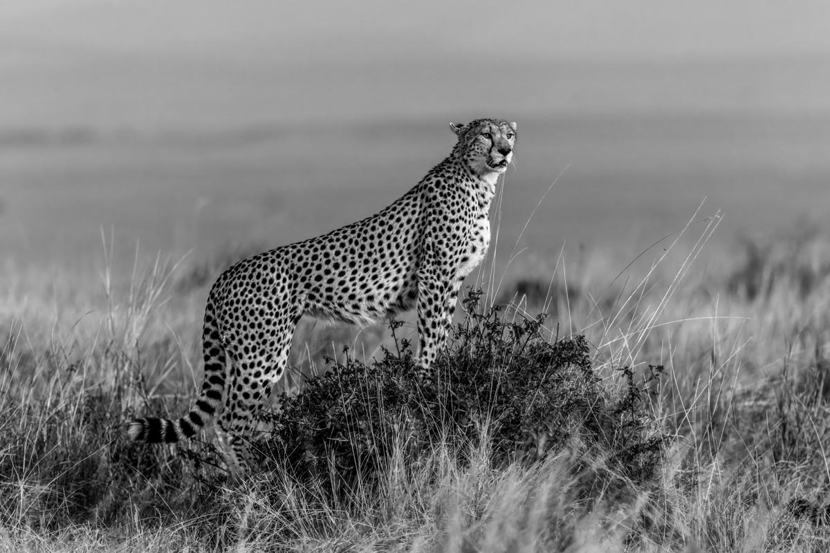 cheetahhillBW