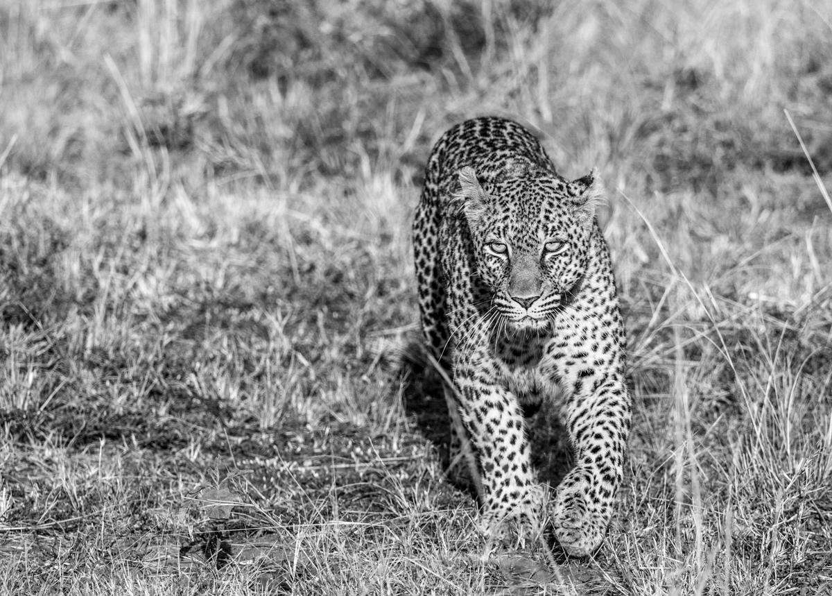 leopard2bw