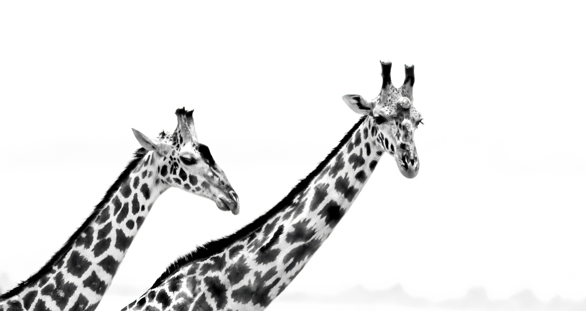 giraffehead2