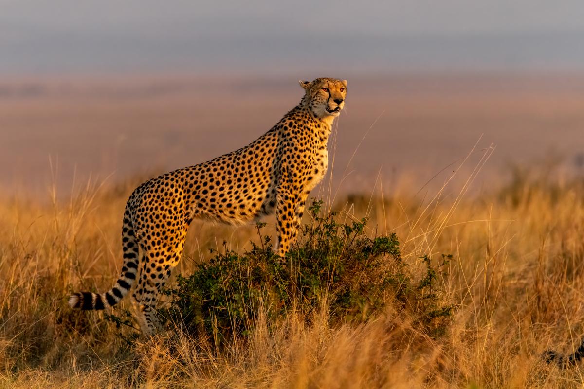 cheetahhill1