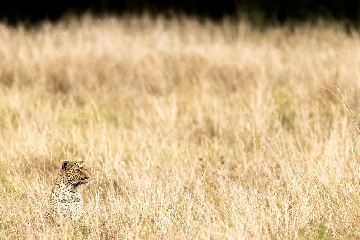 leopardgrass