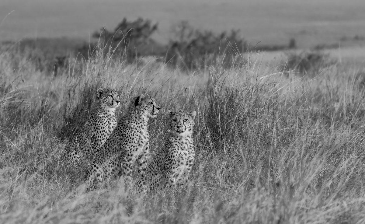 cheetahcubsBW