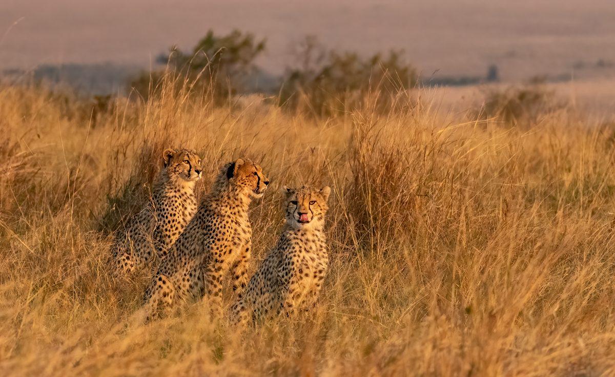 cheetahcubscolor