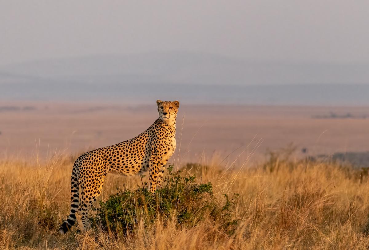 Cheetah5