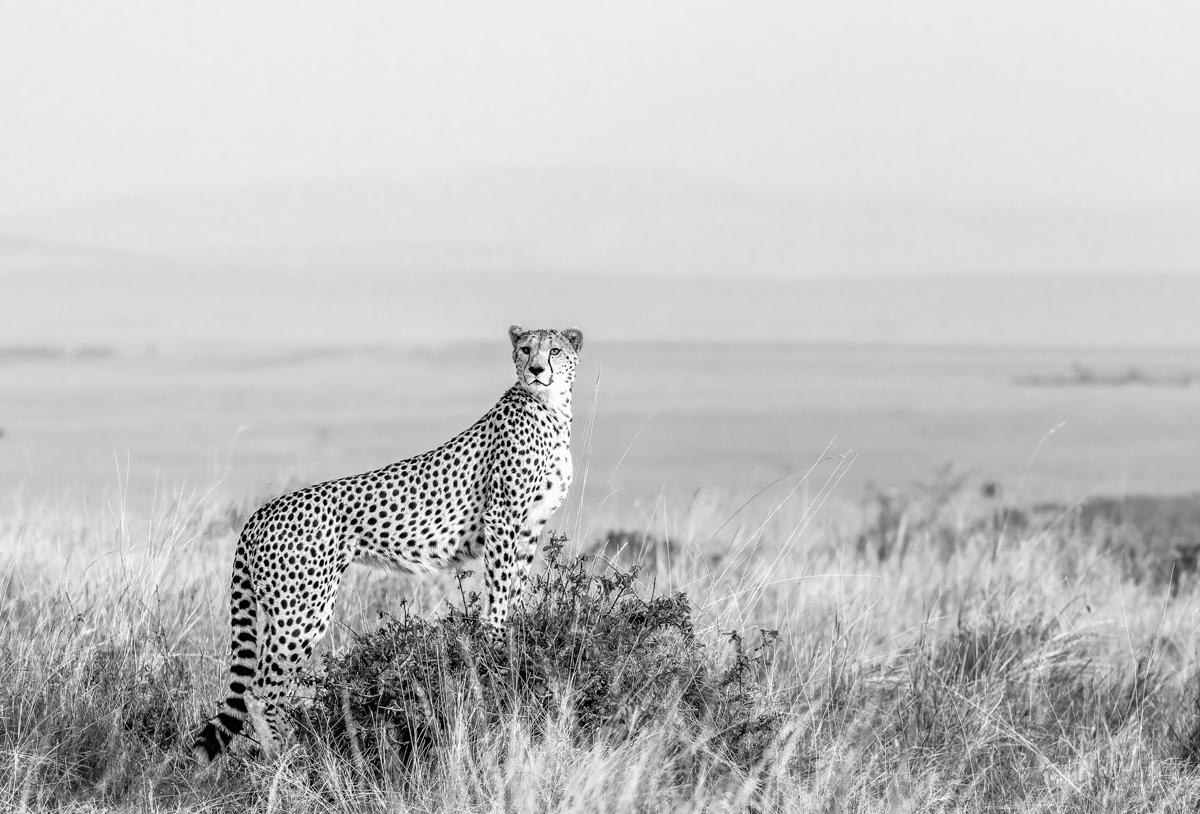 cheetah5bw